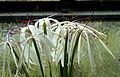 Crinum kunthianum 001.jpg