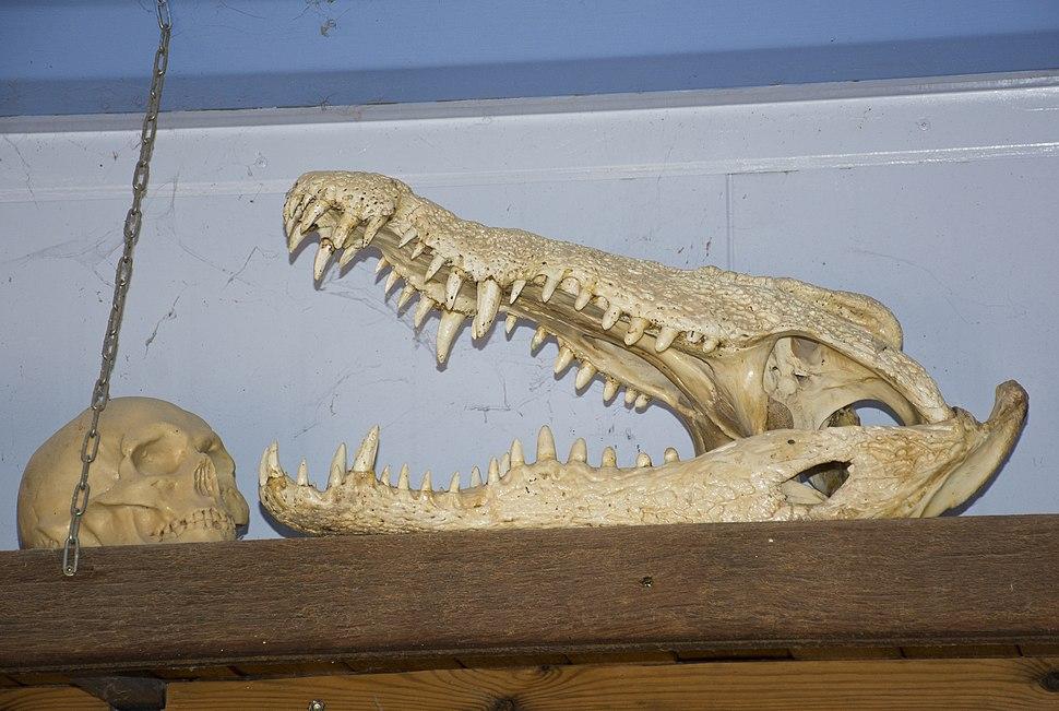 Crocodile-skull-315-Zachi-Evenor