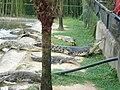 Crocodylus porosus 20100313.jpg