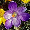 Crocus - Flickr - Stiller Beobachter (1).jpg