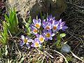 Crocus sieberi sublimis tricolor - Flickr - peganum (1).jpg