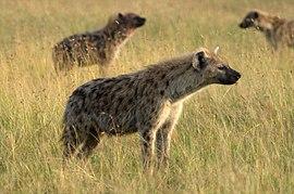 Crocuta crocuta Masai Mara Kenya