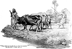 "English: ""Thou shalt not muzzle the ox wh..."