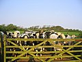 Crowd of Cows - geograph.org.uk - 1526375.jpg