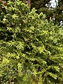 Cryptomeria japonica 002.JPG