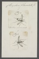 Ctenophora - Print - Iconographia Zoologica - Special Collections University of Amsterdam - UBAINV0274 038 03 0026.tif