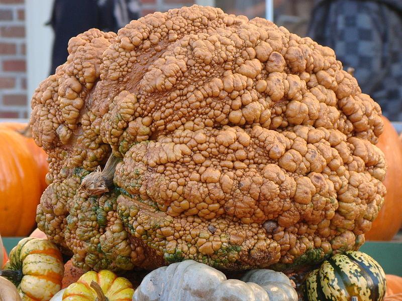 File:Cucurbita Circleville Pumpkin Show 2010 ~ Ohio ~ Pumpkin Giant Warty.jpg