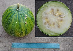 Cucurbita ecuadorensis (Cutler & Whitaker) mature fruit 2 merged pictures.jpg