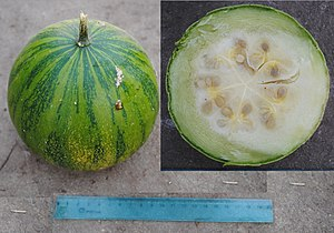 Cucurbita ecuadorensis - Mature fruit and cut showing pulp and seeds.