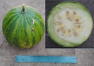 <i>Cucurbita ecuadorensis</i> species of plant