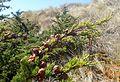 Cupressus macrocarpa kz3.jpg