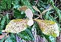 Curtisia dentata - Assegai tree - symbiotic mite infection - cape town.JPG