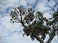 Cussonia spicata - Mount Garuso (10246366015).jpg