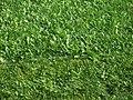 Cut grass in Lohja.jpg
