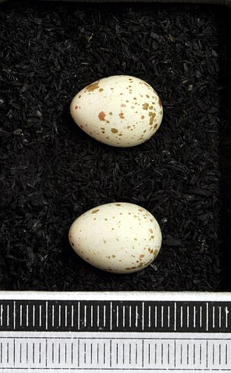 Azure tit - Eggs, Museum Wiesbaden Collection