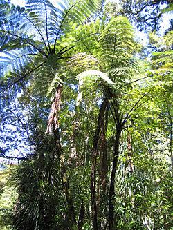 Cyathea spp in Waipoua.jpg