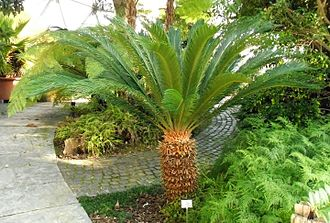 Cycas revoluta - Example of a full-grown tree
