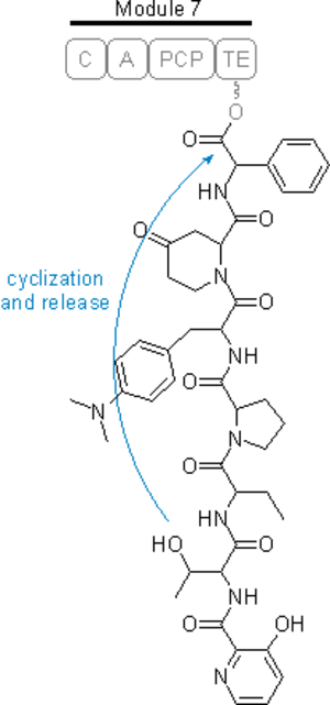 Streptogramin B - Image: Cyclization Streptogramin B