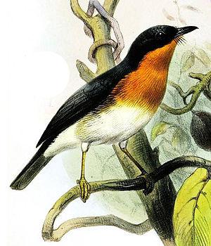 Rufous-throated flycatcher - Image: Cyornis rufigula Smit
