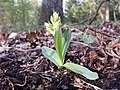 Dactylorhiza sambucina sl22.jpg