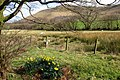 Daffodil and Lamb in the Brecons - geograph.org.uk - 754440.jpg