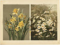 Daffodils and Daisies (Boston Public Library).jpg