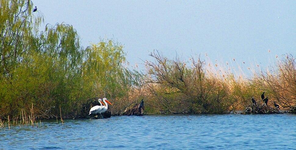 Dalmatian Pelican and Great Cormorant in danube delta