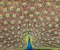 Dancing peafowl.jpg