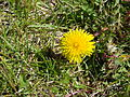 Dandelion in summer 2009 in winnipeg canada (4).JPG