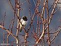 Dark-throated Thrush (Turdus ruficollis) (34121925463).jpg