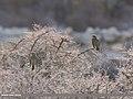 Dark-throated Thrush (Turdus ruficollis) (34722825685).jpg