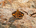 Dark Palm Dart at Jayanti, Duars, WB W IMG 5474.jpg