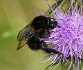 Dark Queen Tree Bumblebee. Bombus hypnorum (27868731149).jpg