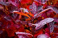 Dark red aronia leaves on a rainy day in Tuntorp 3.jpg