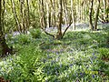 Darroch Wood bluebells - geograph.org.uk - 815242.jpg