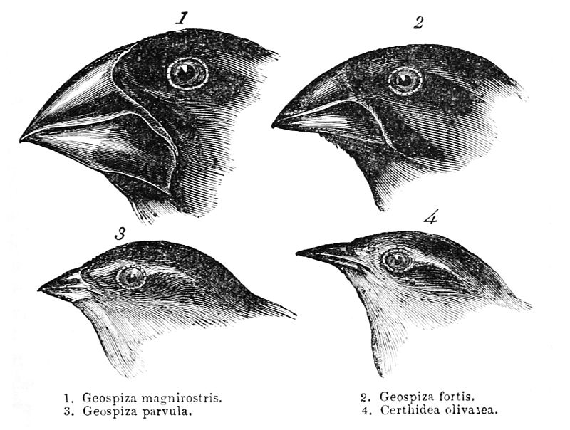 illustrations of Galapagos finches from the voyages of Darwin