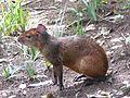Dasyprocta leporina - Brasil, Campinas.jpg