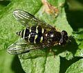 Dasysyrphus venustus (female) - Flickr - S. Rae (5).jpg