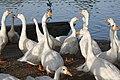 Deer Park Ducks.jpg