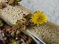 Delosperma lineare fleur.JPG