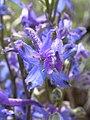 Delphinium andersonii.jpg