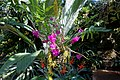 Dendrobium goldschmidtianum - Marie Selby Botanical Gardens - Sarasota, Florida - DSC01003.jpg