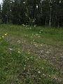 Deschampsia cespitosa Kiiminki, Finland 25.06.2013 img 1.jpg