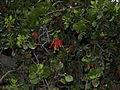 Desmaria mutabilis by Scott Zona - 001.jpg