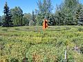 Devonian Botanic Garden, Caragana maze.jpg