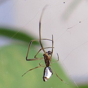 Argyrodes - Image: Dewdrop spider in an Argiope argentata web in California (cropped)