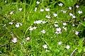 Dianthus hyssopifolius subsp. hyssopifolius syn. Dianthus monspessulanus-0863 - Flickr - Ragnhild & Neil Crawford.jpg