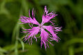 Dianthus superbus 02.jpg
