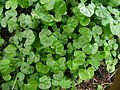 Dichondra repens leaf2 (8428934838).jpg