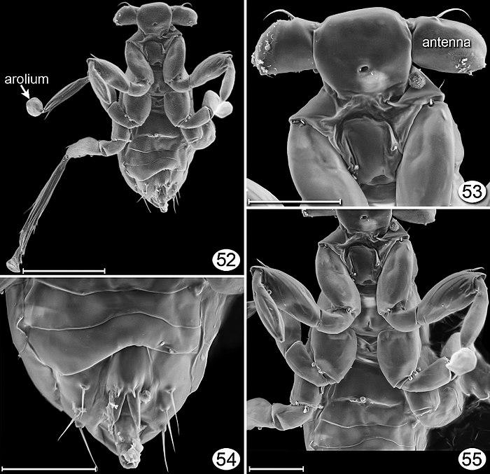 Dicopomorpha echmepterygis.jpg